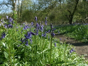 Bluebells of Brampton Wood