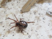 Arrival of a flase widow spider in East Devon
