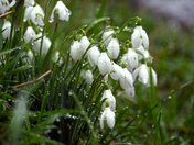Snowdrops in South Molton