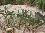 A reptile and Cacti in the desert in Paignton Zoo