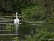 Email Request for Autumn Photographs – DSC4203 Swan on river Hiz, Ickleford