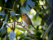 Email Request for Autumn Photographs - DSC4476c Robin in Tree