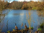 Geese at Backwell lake, pm Wednesday 30th March