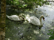 Peat Moors Swans