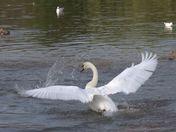 Swan having a clean
