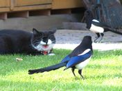 Two Magpies Stalking the Cat