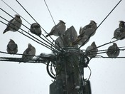 Beautiful birds in Chadwell Heath, Waxwings & Pigeons