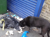 Black Dog Scavenging from Rubbish Bag