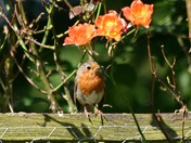 Robin in the Roses