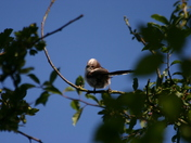 Longtail tit in the sun