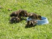 Baby ducks on the pond again