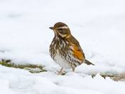 Thrushes take advantage of snow free path.