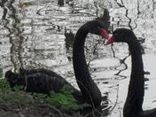 Be My VALENTINE.BLACK SWAN MAGIC.