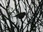 CHAFFINCH SILHOUETTE'S. Project 52