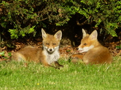 Fox cubs in garden