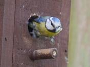 Blue Tits Nesting
