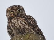 Little Owl!