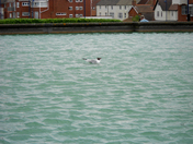 Seagull only on Boating lake