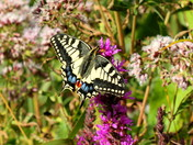 The Swallowtailed Butterfly