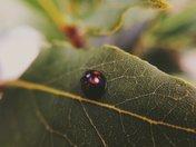 Black & red Ladybird