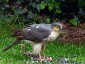 Sparrowhawk on pidgeon