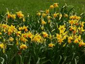 Spring- Daffodils