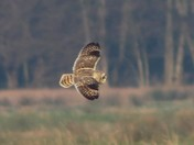 Birds 1short eared owl Carlton Marsh.2 Greylag Goose.3 Black swan