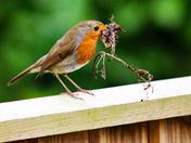 Busy little Robin