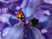 LadyBird on Hyacinth