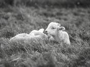 Norfolk Lambs