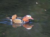 Mandarin Duck in Kelsey Park, Beckenham