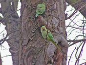A pair of Parakeets sitting in a tree