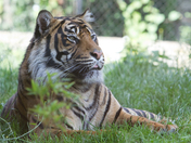 A Tiger on watch at London Zoo