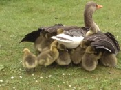 Geese at Fairlop Waters