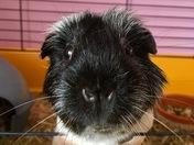 George the guinea pig