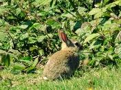 Bunny rabbits at Uphill nature reserve