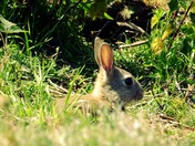 Bunny rabbits in Uphill Nature Reserve