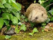 Hedgehog and Frog.