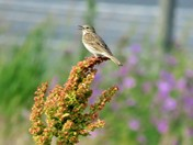 Meadow Pipiit