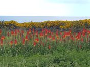 Orchid, Red Hot Pokers & Gorse