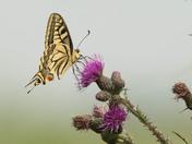 Swallowtail on Thistles.