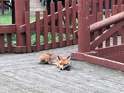 Poppy the fox relaxes