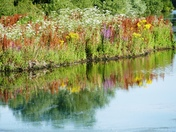 Wildflower reflections in Lackford lakes.