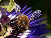 Bee in my garden