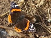 A zoomed in picture of a Red Admiral butterfly