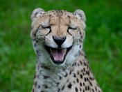 laughing cheetah