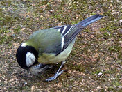 Great tit gathering nesting material