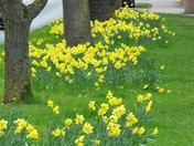 FLUTTERING AND DANCING IN THE BREEZE,A HOST OF GOLDEN DAFFODILS