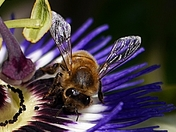 Busy bee on Passion Flower