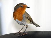 Robin in my office